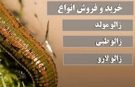 قیمت خرید زالوی طبی سبز مرغوب در ایران