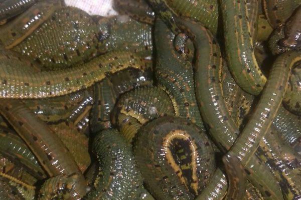 فروش زالوی طبی سبز پرورشی در ایران